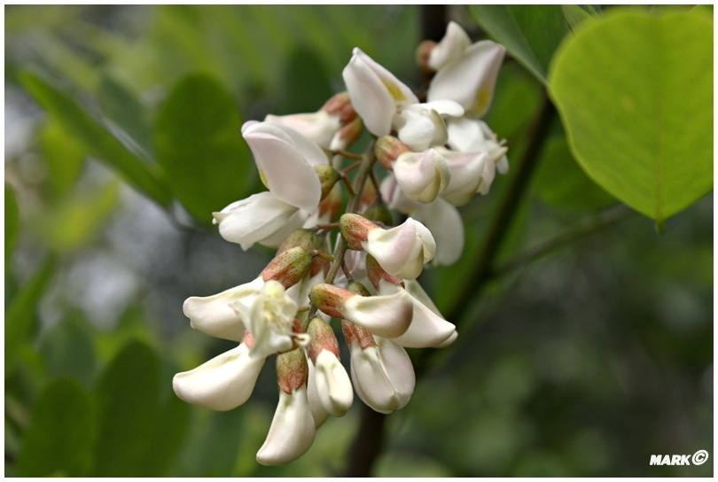 Kwitnące Akacje  A1