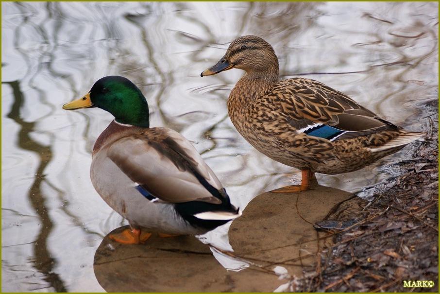Kaczki i Gołębie B10