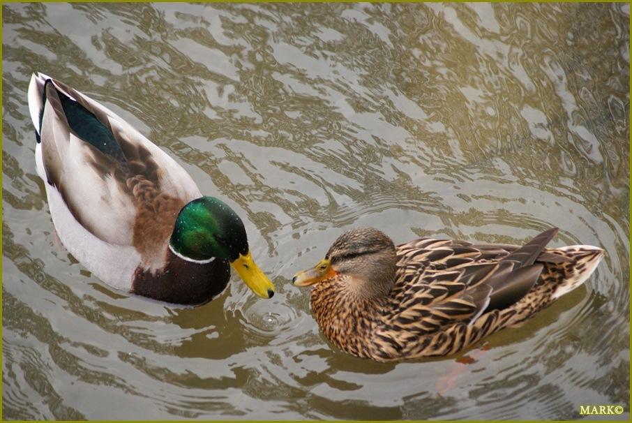 Kaczki i Gołębie B11