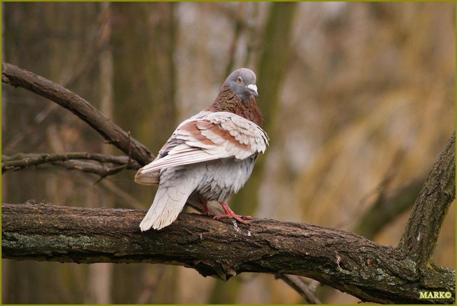Kaczki i Gołębie B2