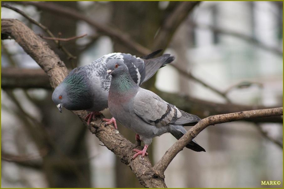 Kaczki i Gołębie B3