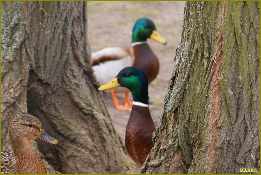 Kaczki i Gołębie B4