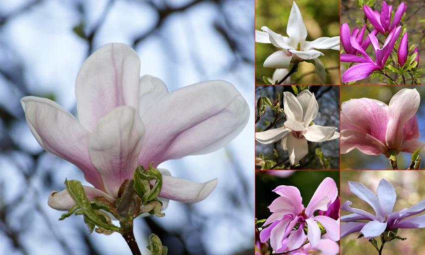 Wyświetl album Magnolias in Bloom