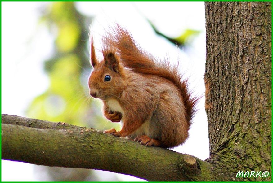 Wiewiórki 11