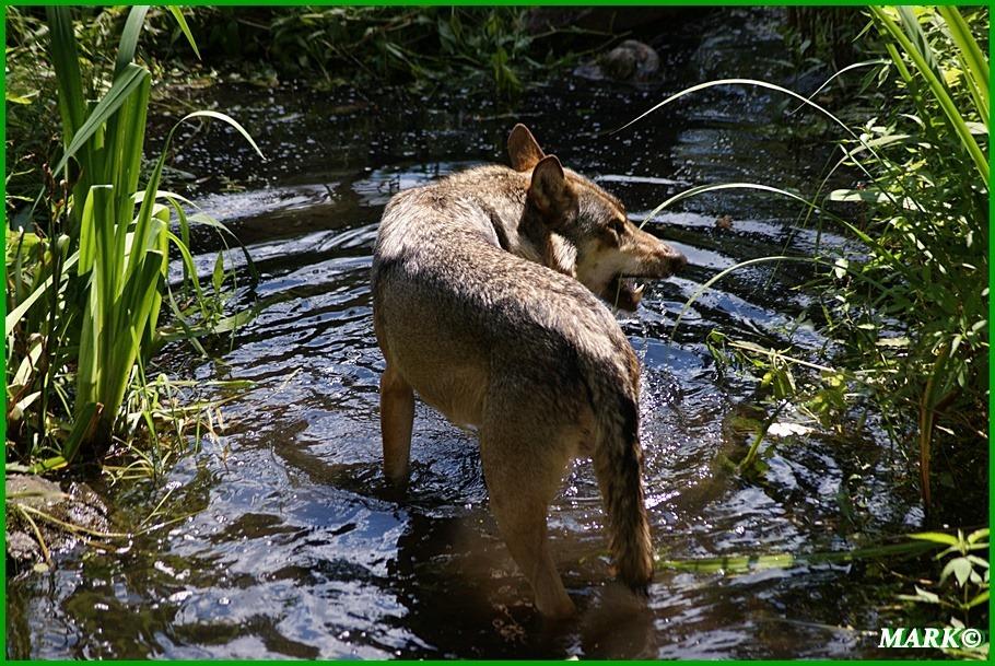 Wolf 06