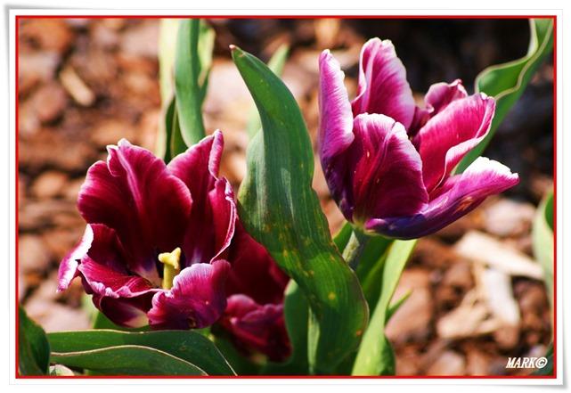 Tulipany  (10)