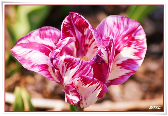 Tulipany  (12)