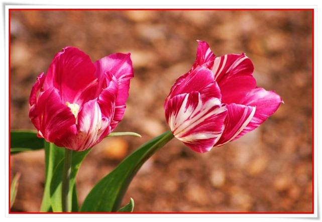 Tulipany  (14)