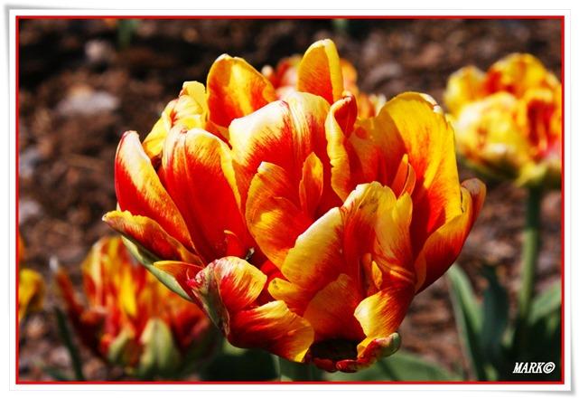 Tulipany  (15)
