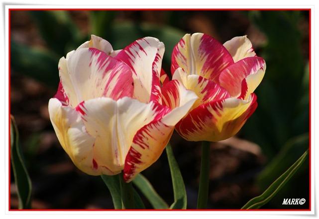 Tulipany  (16)