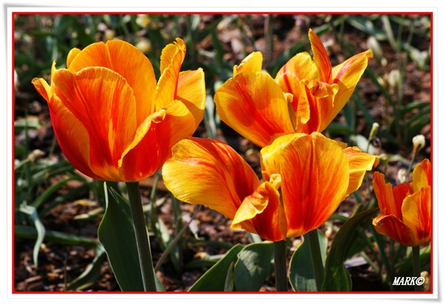 Tulipany  (17)