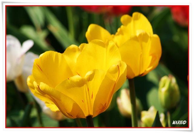 Tulipany  (18)