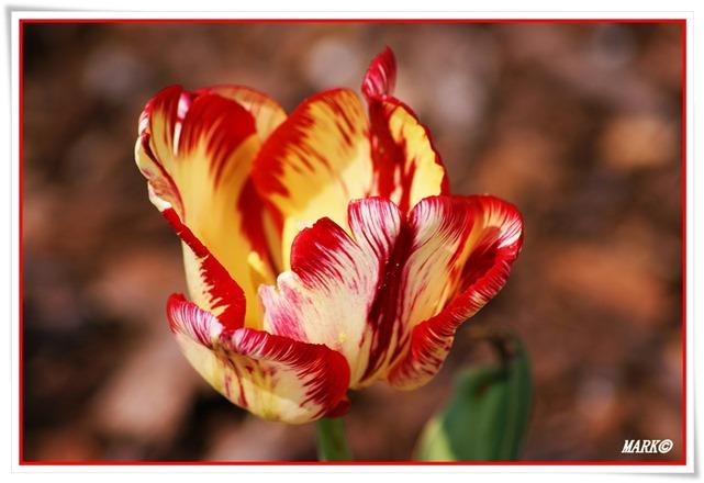 Tulipany  (19)