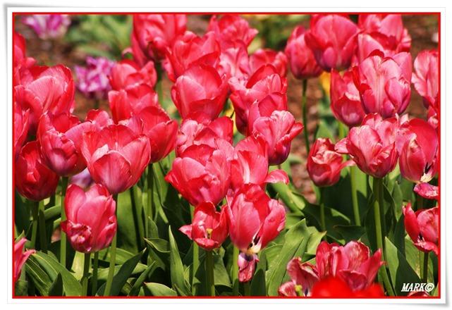 Tulipany  (1)