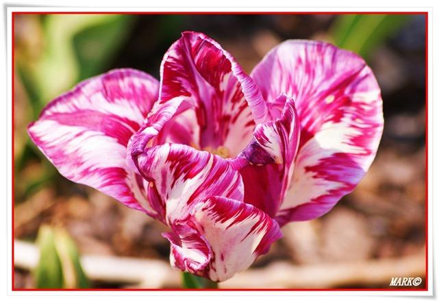 Tulipany  (20)