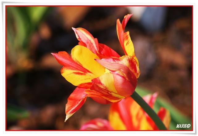 Tulipany  (21)