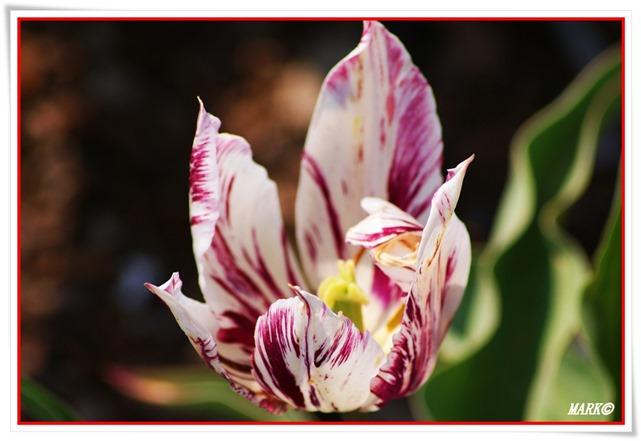 Tulipany  (22)