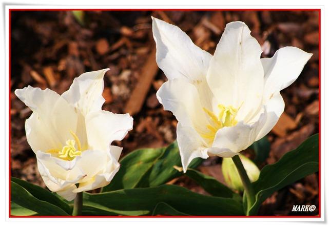 Tulipany  (25)
