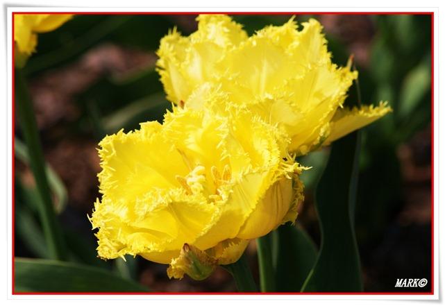 Tulipany  (26)