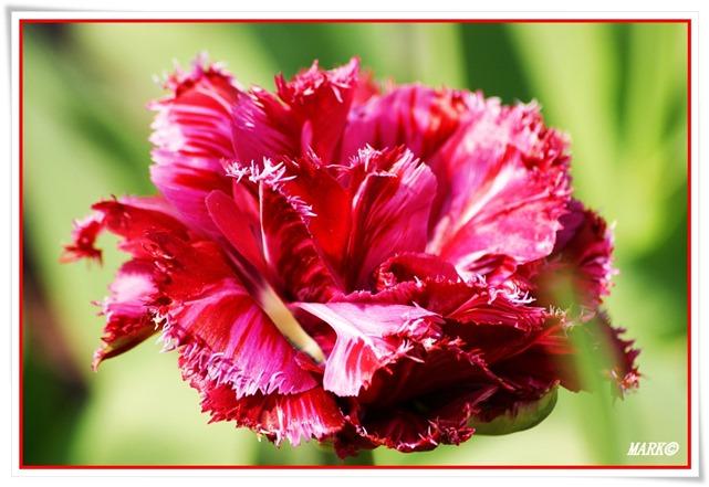 Tulipany  (27)