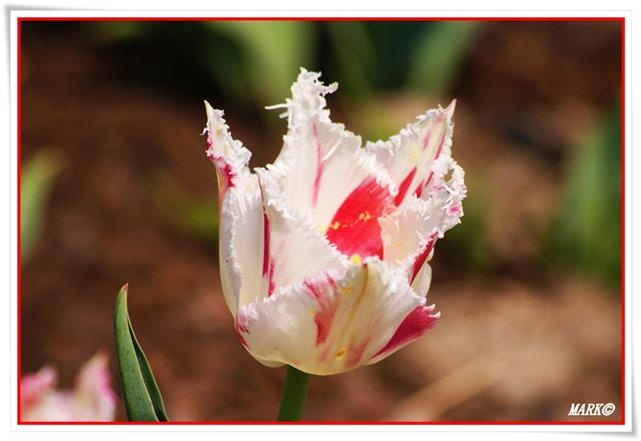 Tulipany  (28)