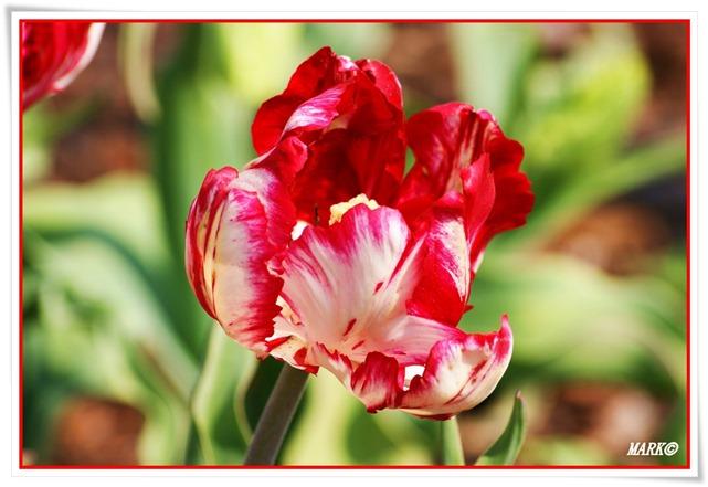 Tulipany  (29)