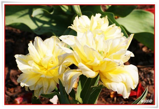 Tulipany  (2)