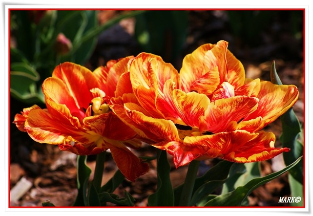 Tulipany  (30)
