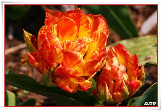 Tulipany  (31)
