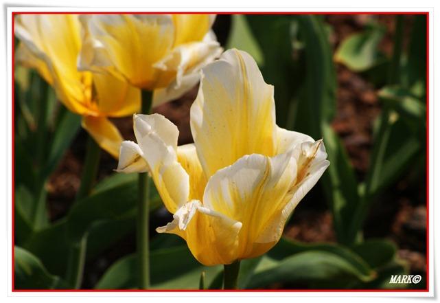 Tulipany  (32)