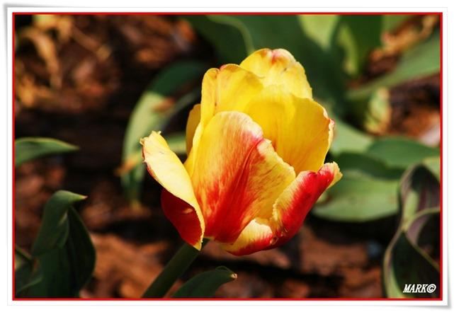 Tulipany  (33)