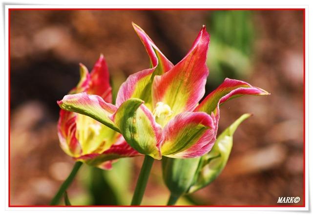 Tulipany  (34)