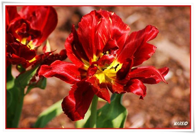 Tulipany  (35)