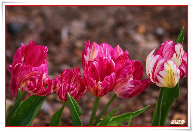 Tulipany  (36)