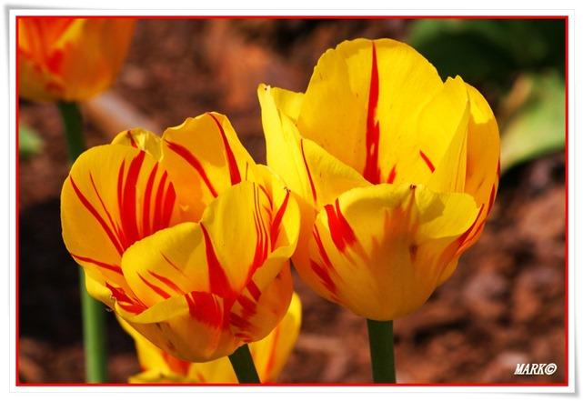 Tulipany  (37)