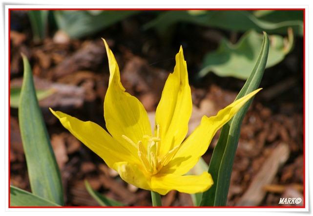 Tulipany  (38)