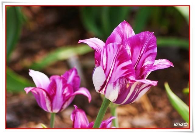 Tulipany  (39)