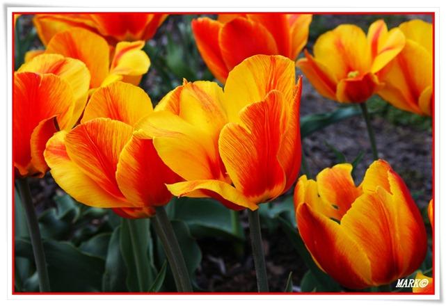 Tulipany  (40)