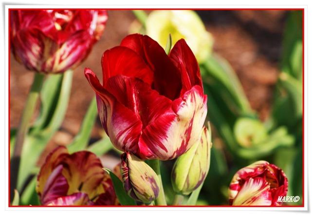 Tulipany  (4)
