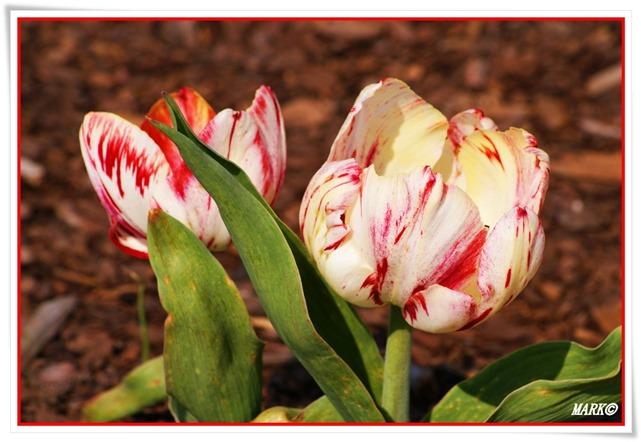 Tulipany  (5)
