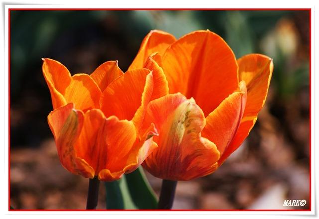 Tulipany  (8)