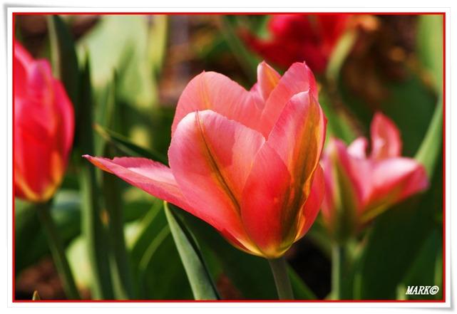 Tulipany  (9)