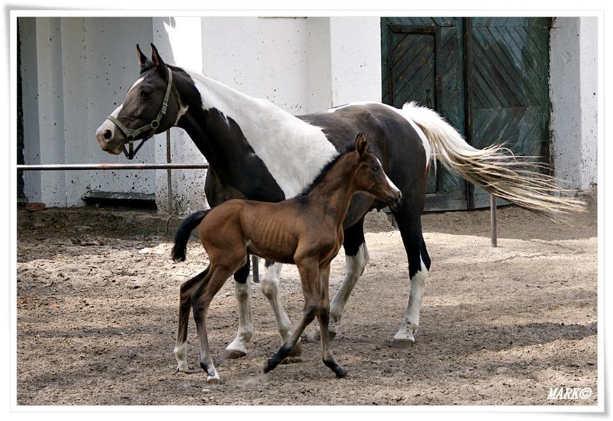 Janów Podlaski - Konie  (11)