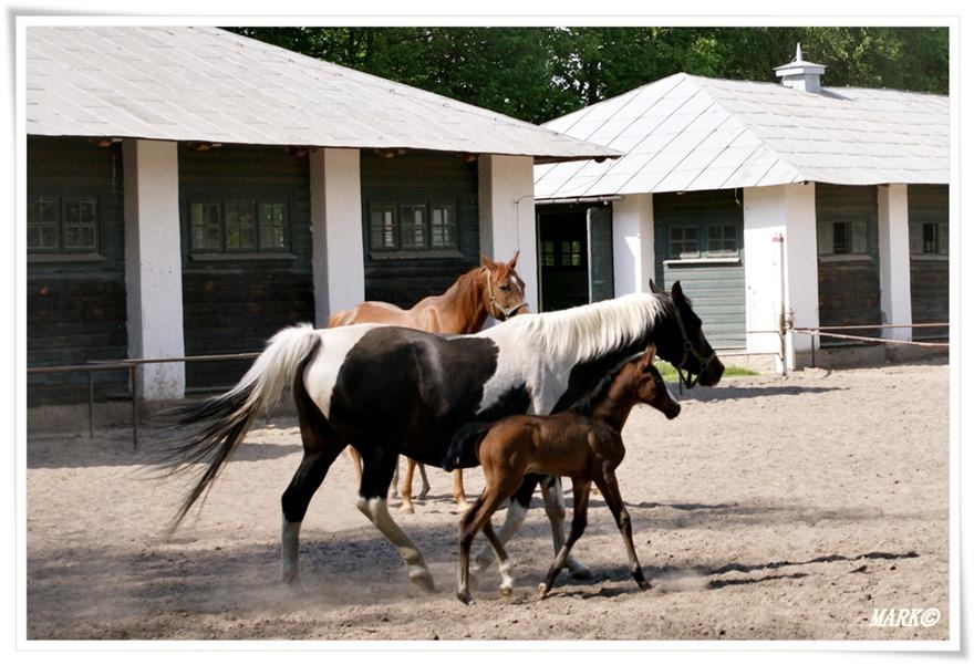 Janów Podlaski - Konie  (12)