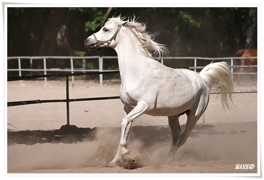 Janów Podlaski - Konie  (1)