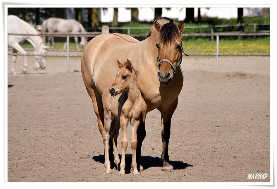Janów Podlaski - Konie  (5)
