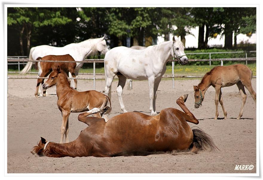 Janów Podlaski - Konie  (7)