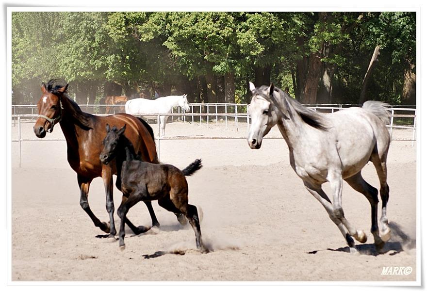 Janów Podlaski - Konie  (9)