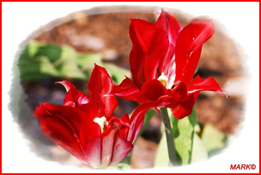 Tulipany - Blog  (10)