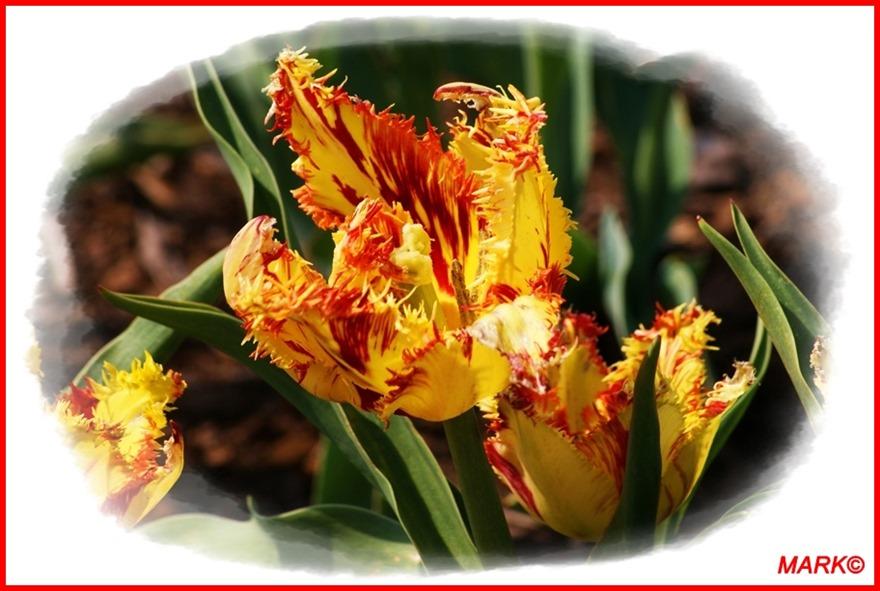 Tulipany - Blog  (11)